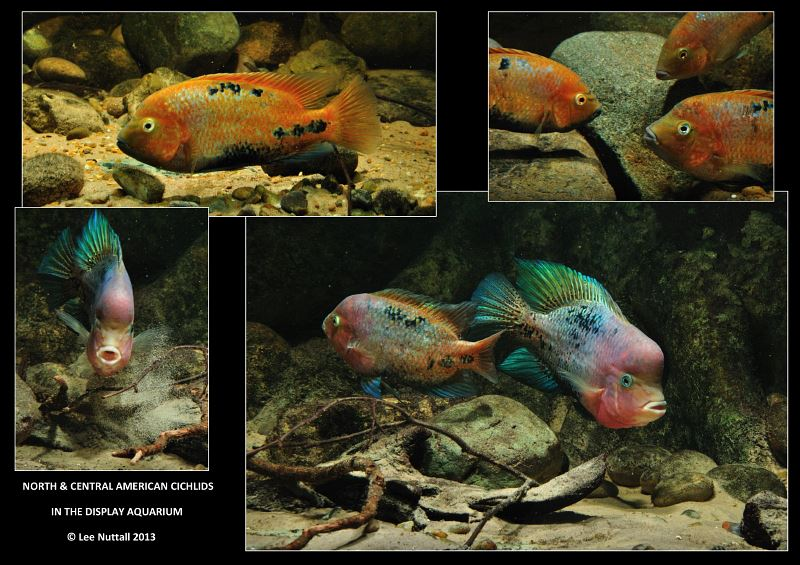 North And Central American Cichlids In The Display Aquarium By Lee Nuttall Cflas