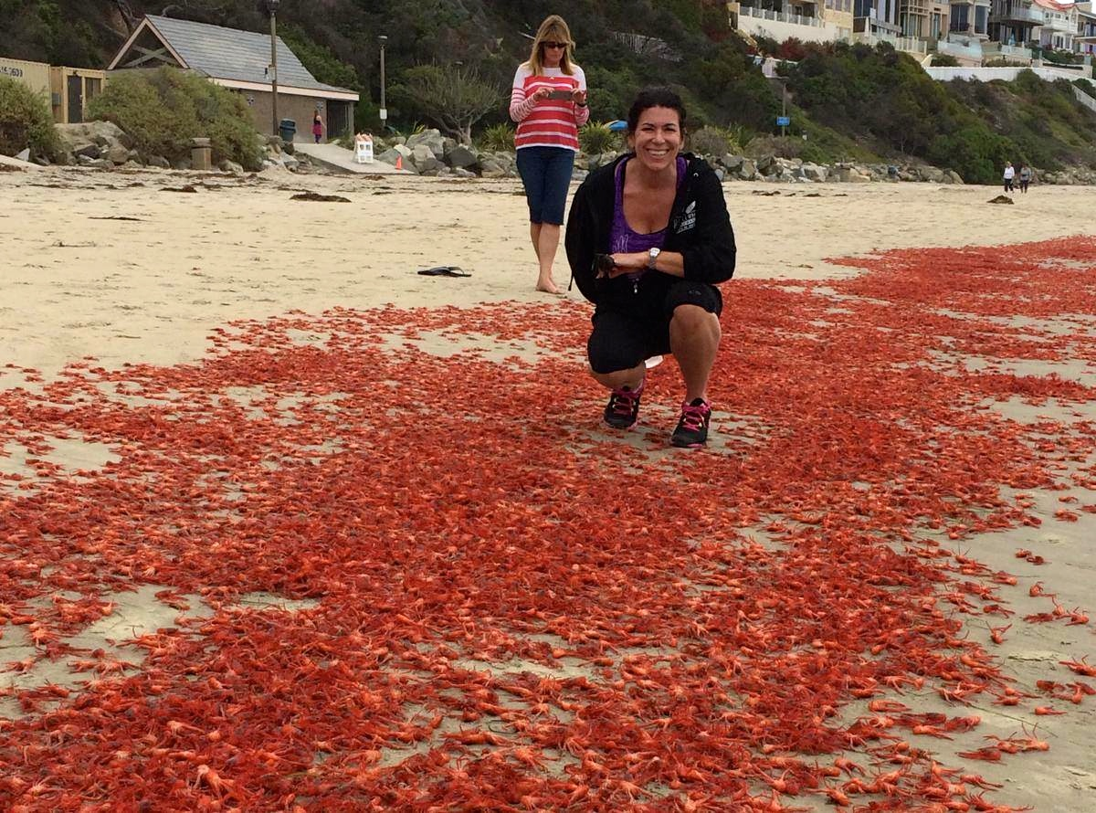 Donna Kalez stoops amid thousands of red crabs at Salt Creek. Photo: Dana Wharf Sportfishing