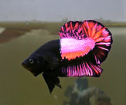 koi betta fancy dragon Beta gallery Pinterest Betta, Betta Fish ...