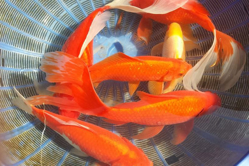 Pond fish stolen from florida pet store cflas for Pet koi fish tank
