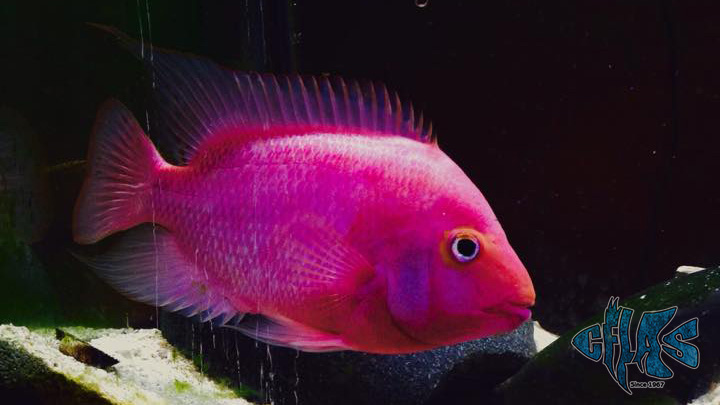 purple rose queen cichlid 4